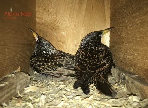Two starling birds in nest box