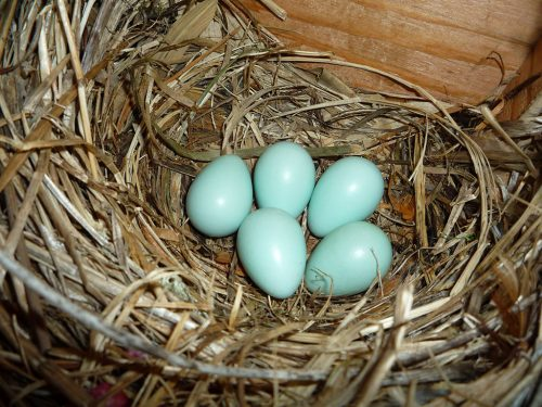 bird eggs european starling