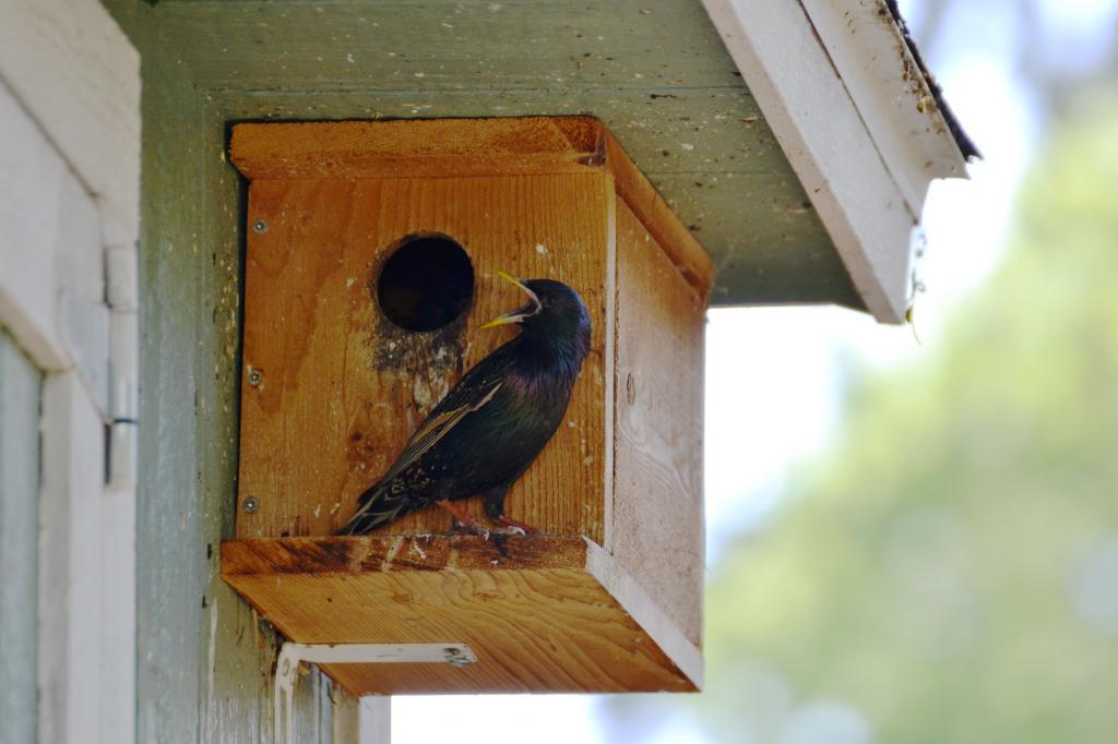 How To Build A Nest Box For European Starlings European Starling Care