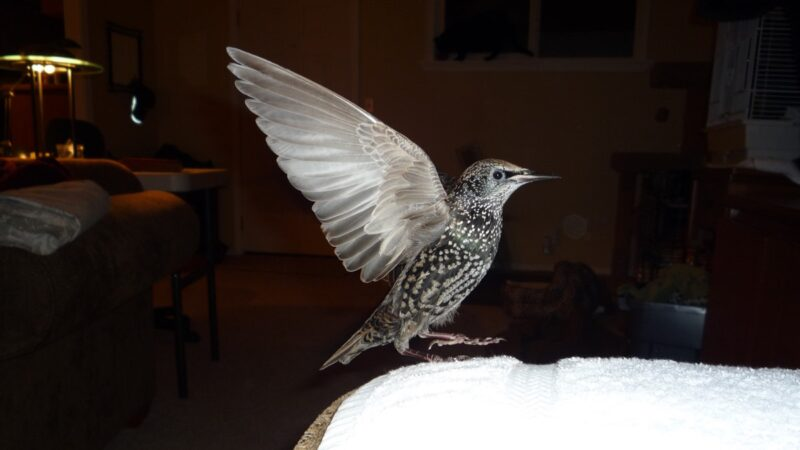 european starling wing