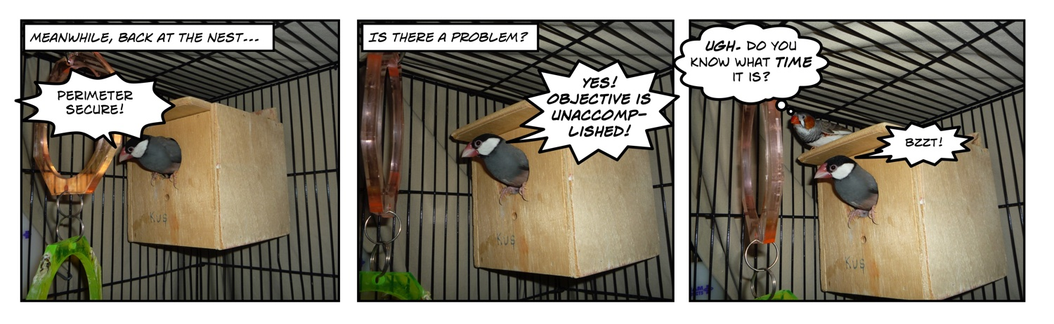 comic of java rice finch in nest box