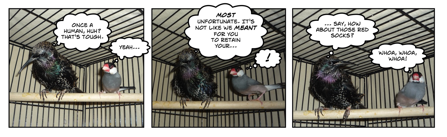 Comic of european starling bird and java rice finch in cage