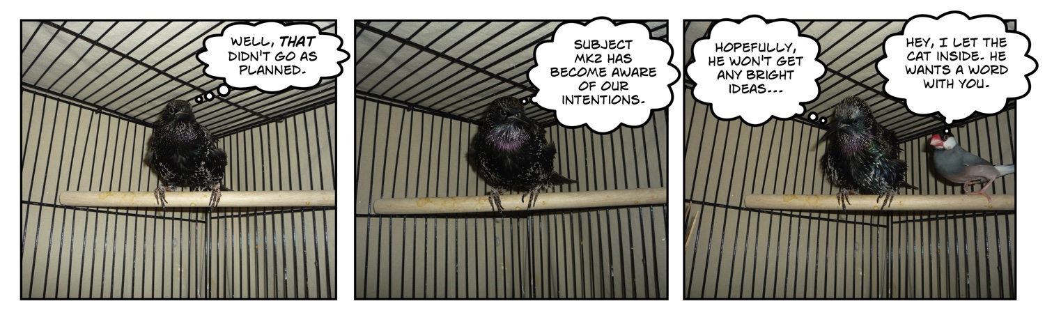 Comic of European starling sitting on perch with java rice finch